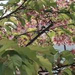 昨日の代官山の葉桜